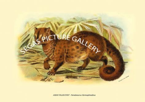 Fine art print of the ASIAN PALM-CIVET - Paradoxurus Hermaphroditus by Richard Lydekker (1896)